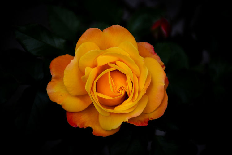 Close-up of orange rose against black background