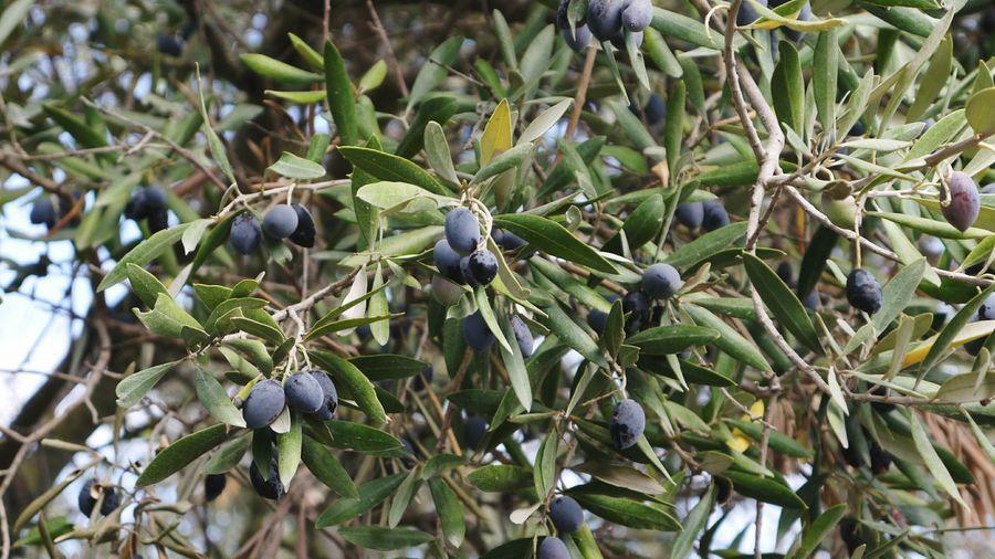 Olive Tree Olives Olive Olive Oil Olivetree Olive Branch Olive Leaves Olivegarden Close Up Close Up Nature Olive Grove Olive Harvest Natural Beauty