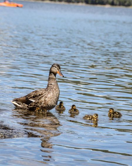 Duck and ducklings on lake Bird Animal Animal Themes Animal Wildlife Water Animals In The Wild Vertebrate Lake No People Swimming Duck Nature Group Of Animals Day Poultry Waterfront Beauty In Nature Side View Rippled Floating On Water