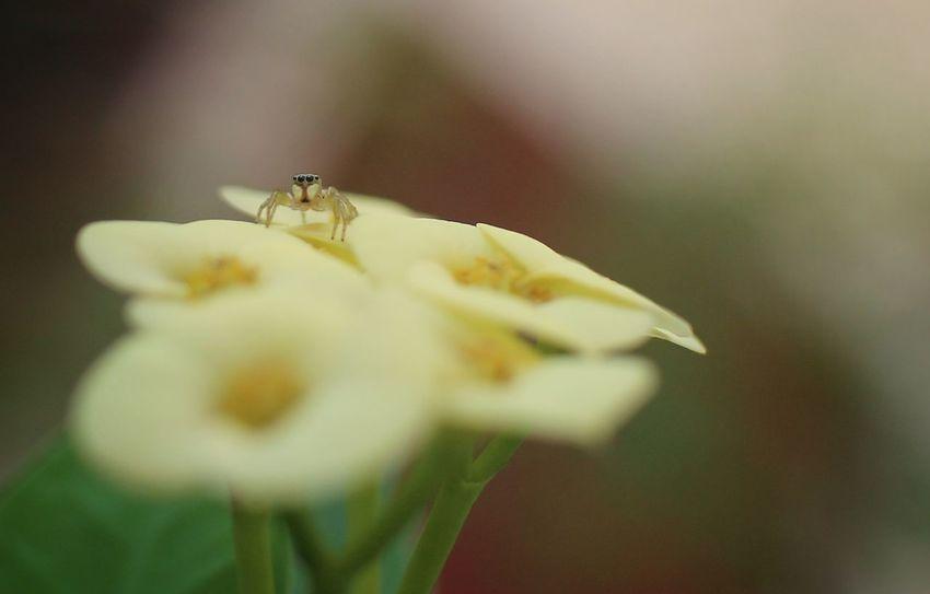Hey zup? Spider Spidey Jumpingspider Flower Macro Canon Eosm Insect Photography Hobbyist Photographer Eyeem Philippines Pinoyexcursionist Closeup Wildlife