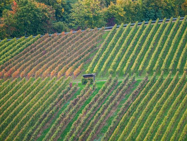 Vineyard Cultivation Vineyards In Autumn Vineyard Ravensburg Castle Germany Winter Nature Landscape Stromberg Autumn colors Vine Leaves Red Plant No People Pulp