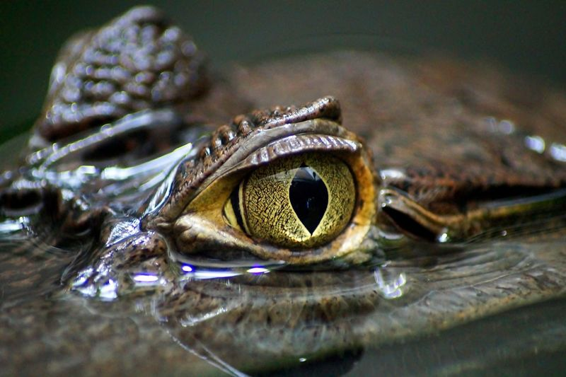 cayman watching Animal Animal Eye Animals In The Wild Cayman Close Up Close-up Croco Ey Crocodile Eye EyeEm Best Shots Eyes Kaiman Krokodil Reptile Wildlife Zoology
