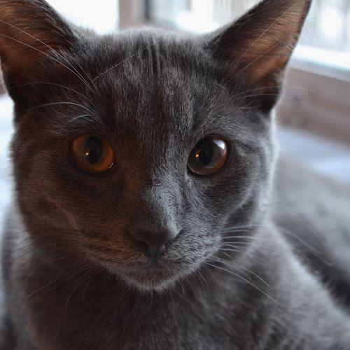 Showcase: January Nikonphotography Close Up Grey Kitten Cat Cat Photography Too Many Pets Charcoal Fur Furbaby So Photogenic Pet Portraits