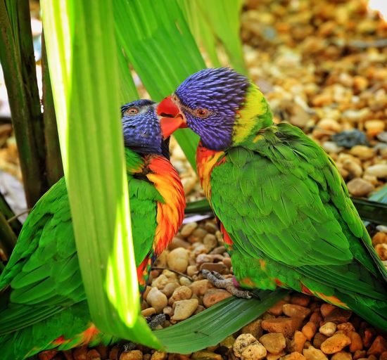 Parakeets kissing on field
