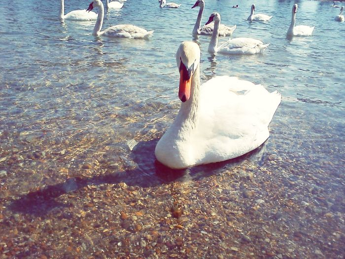 Enjoying The Sun Beautiful Animals Water Swan Swan Lake Adventure Travel Destination Travel Destinations Riverscape Riverside River View Autumn Collection Autumn Croatia Animal Themes