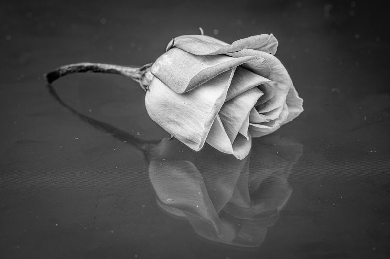 Close-up of rose in water