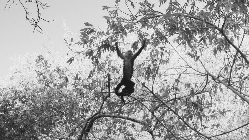 Monkey magic Guanacaste Costa Rica Animals in the Wild Monkeys monkey nature wildlife black and white My Year My Blackandwhite An Eye For Travel Monkey Magic Guanacaste  Costa Rica Animals In The Wild Monkeys Monkey Art Is Everywhere Break The Mold The Great Outdoors - 2017 EyeEm Awards The Photojournalist - 2017 EyeEm Awards BYOPaper! Black And White Trees EyeEm Selects Guanacaste, Costa Rica Guanacaste Costa Rica Animal Wildlife Wildlife Photography Wildlife & Nature Black & White Black And White Photography Pet Portraits Been There. Perspectives On Nature Go Higher This Is Latin America The Great Outdoors - 2018 EyeEm Awards