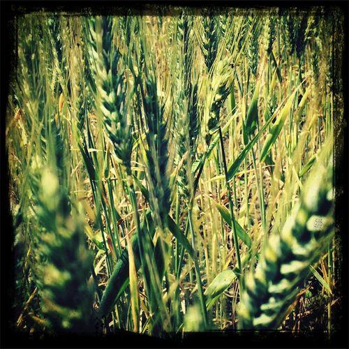 Barley Bhutan