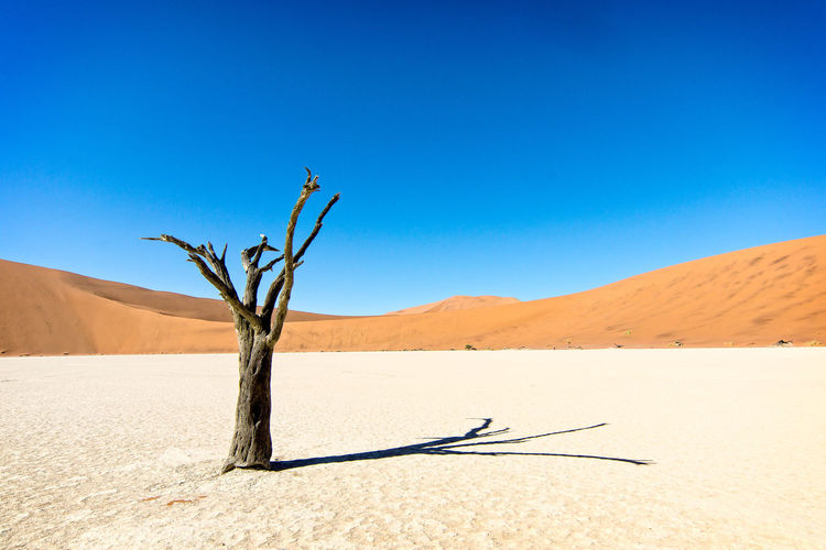 Dead Tree On Desert Against Clear Blue Sky