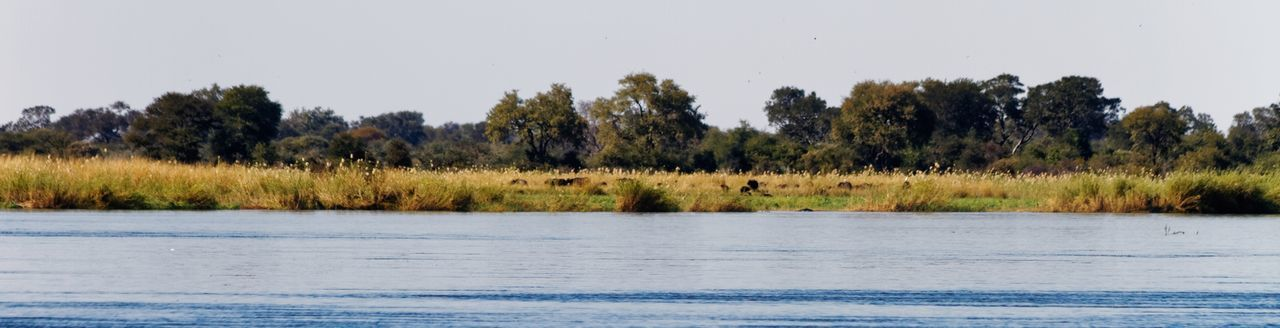Okovango (Cubango) river panorama with distant cape buffalo Buffalo Cape Buffalo River Riverside Reeds Reed - Grass Family Namibia Caprivi Africa Okovango Okovango River Cubango River EyeEm Selects Tree Water Lake Sky Landscape Marsh Reed Swamp Wetland Reed - Grass Family Wilderness