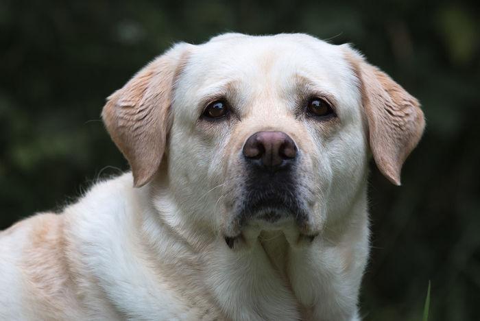 Irmi Animal Head  Close Up Day Dog Labrador Looking Nature No People Portrait Selective Focus Fine Art Photography
