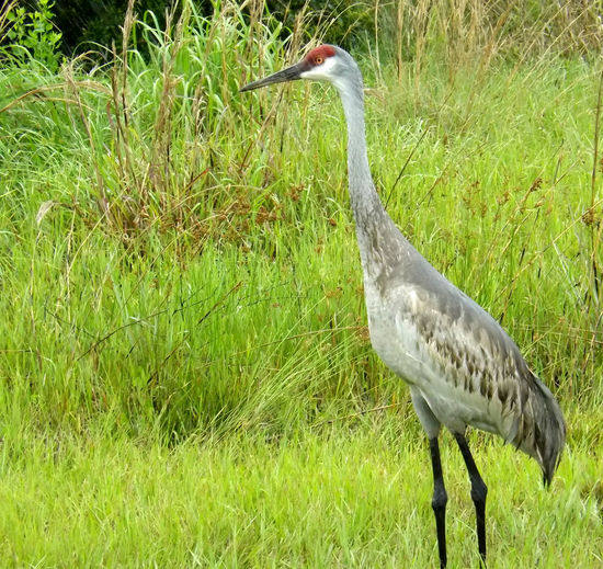 Beauty In Nature Bird Photography Grassy Sandhill Crane Sebastian, Fl St Sebastian River Preserve State Park Standing Tall Wildlife Hidden Gems