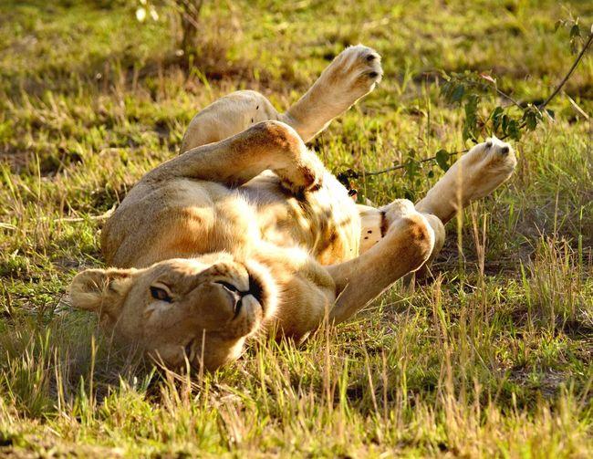 Sheep relaxing on grass