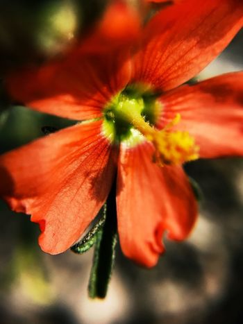 """""""Eyes Wide Open"""" If you take the time to seek, even at ground level, you will find. Macro shot of a tiny Scarlet Globe Mallow wildflower in Central New Mexico. Shot with MPOW iPhone macro lens. Red-orange Wildflower Macro Beauty Macro_collection Macro Photography Macro Mallow Flowering Plant Flower Petal Freshness Flower Head Red Stamen Close-up Fragility Focus On Foreground Orange Color"""