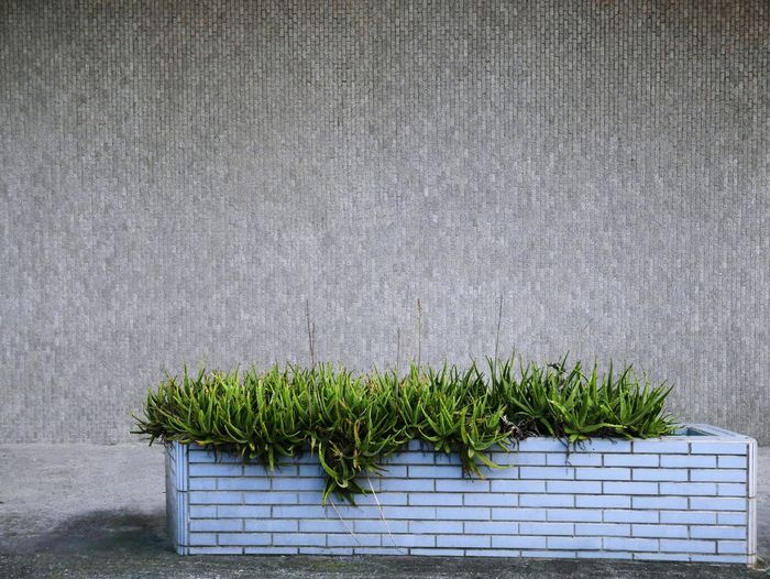 Sidewalk Plants ASIA Taiwan Tainan, Taiwan Aloe Gray Wall Green Plant Plant Life EyeEmNewHere