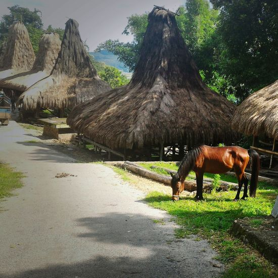 Nature No People Landscape Mammal Horse Indonesia_photography Sumba Barat Daya Traditional Village Praijing Southwest Sumba Wonderfulindonesia Documentaryphotography Animal Eating Grass Cameraphone Outdoors Day Domestic Animals Traditional House