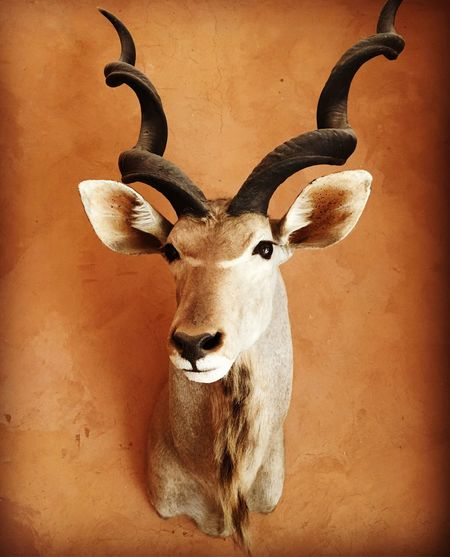 Spiral horned antelope, I think Wall Hanging Kasbah Bab Ourika Spiral Horned Antelope Horned Animal Head  Antler Taxidermy One Animal Animal Themes Deer No People Stag Mammal Looking At Camera Indoors  Close-up Portrait
