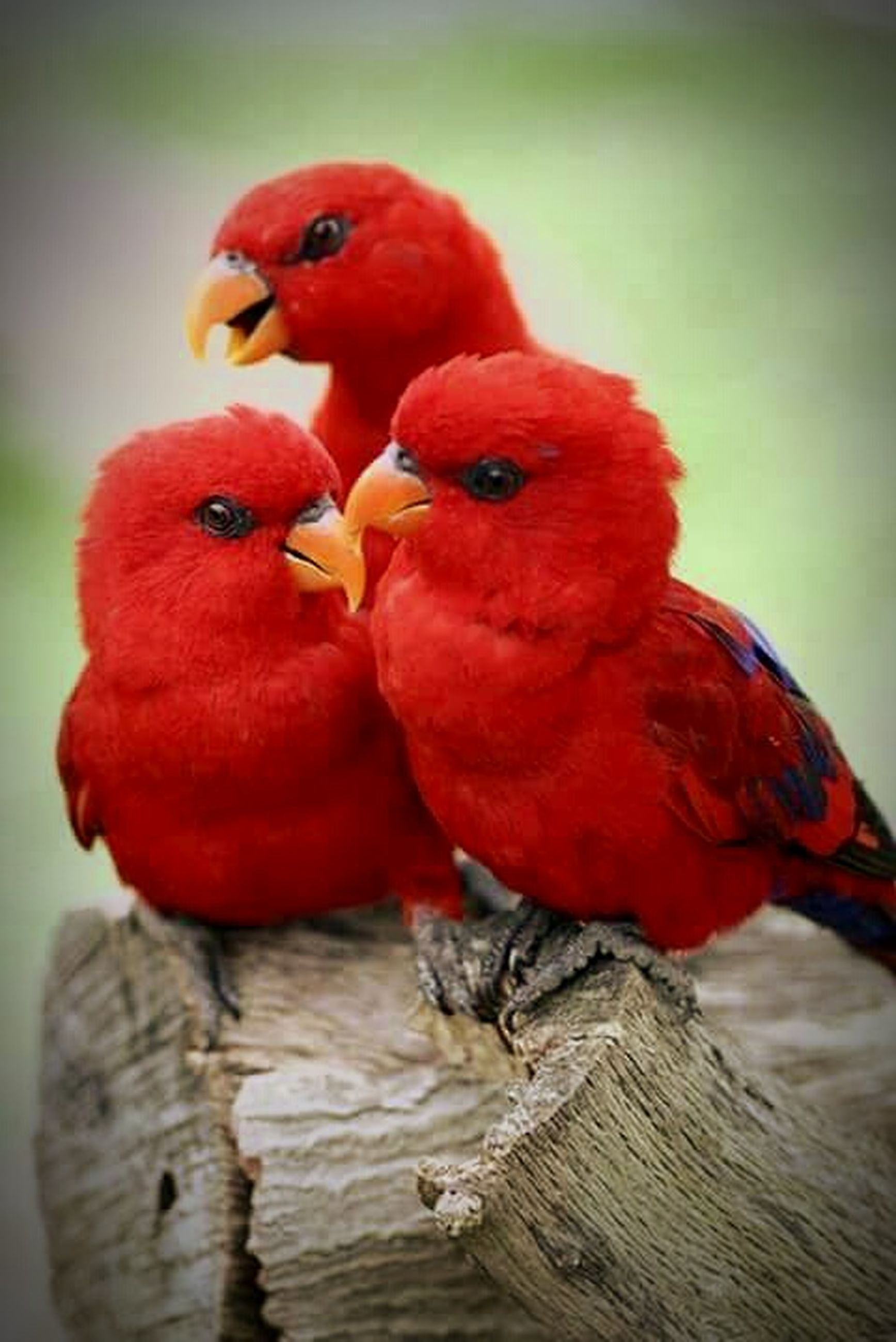 bird, red, animal themes, close-up, fruit, animals in the wild, focus on foreground, one animal, wildlife, food and drink, parrot, beak, chicken - bird, food, perching, two animals, nature, no people, indoors, day