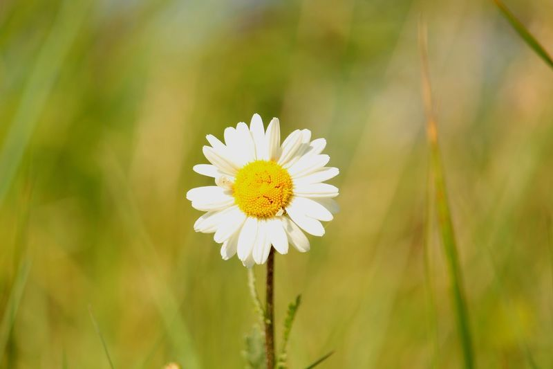 Flowering Plant Flower Plant Freshness Beauty In Nature Fragility Vulnerability  Petal Growth Close-up Flower Head Inflorescence White Color Focus On Foreground Pollen Nature Yellow Daisy Day