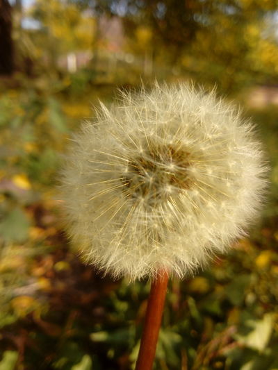 Beauty In Nature Close-up Dandelion Flower Flower Head Focus On Foreground Growth Nature Plant Softness