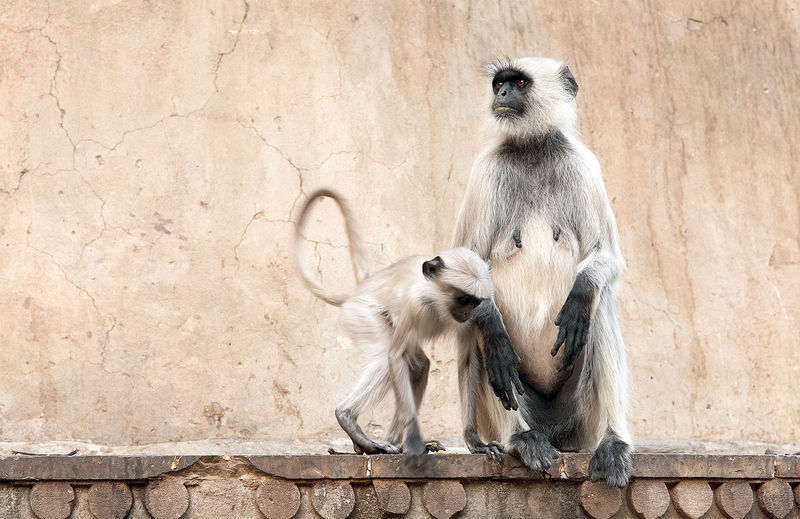 Langur family sitting on wall outside temple