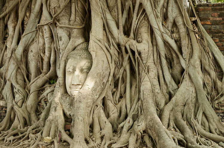 buddha head in bodhi tree. Buddha Head Day Growth Nature No People Outdoors Place Of Worship Religion Root Statue Tree Tree Trunk