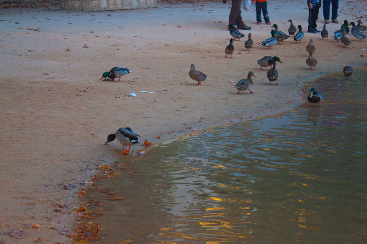 Animal Behavior Animal Themes Animals In The Wild Avian Bird Ducks Flock Of Birds Flying High Angle View Nature River Riverside Shore Togetherness Tourist Vacations Water Bird Wildlife