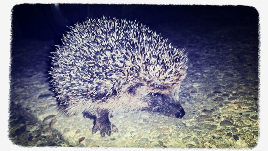 Nature Hedgehog Cutest Little Baby Hedgehog