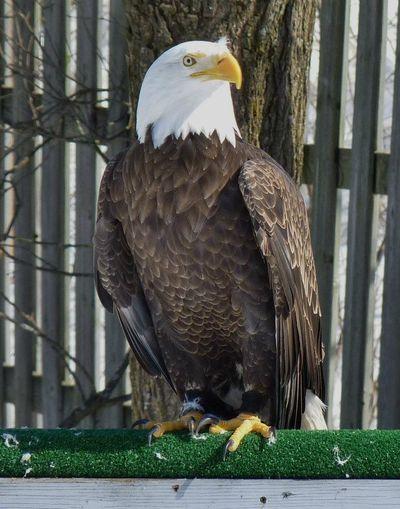 Birds Eagle
