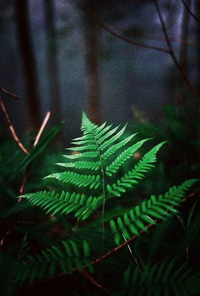 Mountain Fern Kodak Ultramax 400 Ultramax400 Film Forest Leaf Nature Growth No People Close-up Fern Plant Freshness Outdoors Branch Focus On Foreground First Eyeem Photo