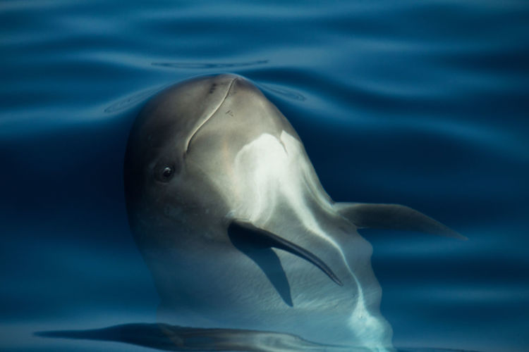 Curious smiling baby pilotwhale swimming in the sea at the strait of gibraltar