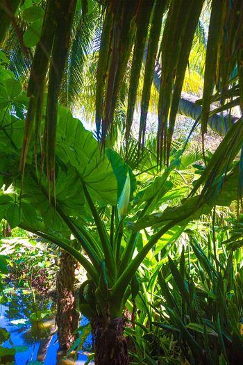 Check This Out Enjoying Life Taking Photos Relaxing Hello World Landscape Reunion Island Reunion  Tropical Paradise Réunion Island ♡ Canonphotography Canon Jardind'eden Saintgilleslesbains Lotus Indian Ocean 5dMarkIII EyeEm RéunionIsland EyeEm île De La Réunion Nature's Diversities