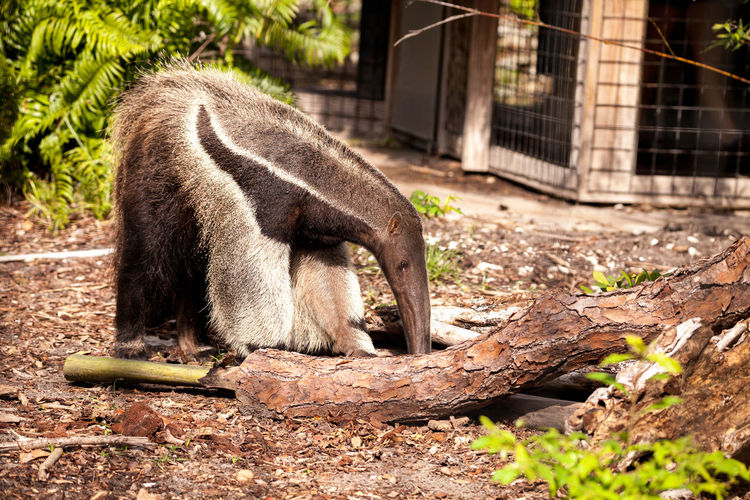 Giant anteater Myrmecophaga tridactyla forages under logs and moves bamboo out of the way to hunt for ants. Insectivore Myrmecophaga Tridactyla Nature Animal Wildlife Animals In The Wild Ant Bear Anteater Day Giant Anteater Insectivorous Land Long Snout Mammal Nature No People One Animal Outdoors Tree Vertebrate
