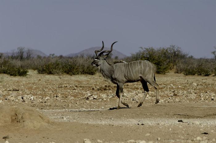 Horns Kudu Bull Animal Themes Animal Wildlife Animals In The Wild Antelope Beauty In Nature Day Full Length Herbivore Kudu Landscape Mammal Nature No People One Animal Outdoors Prey Animal Safari Animals Standing Walking