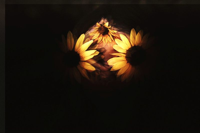 All Eyes Open. Sunflowers🌻 Sunflower EyeEm Selects Celebration No People Night Black Background Flower Close-up Illuminated Outdoors Nature Flower Head