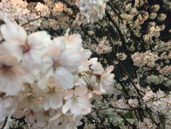 Kyoto Night Sakura Cherry Blossoms Sakura Kyoto Night Sakura Kyoto NIght Lights Kyoto Sakura 2018 Kyoto,japan Plant Flower Flowering Plant Growth Blossom Fragility Tree