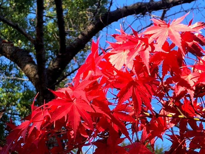 Tree Plant Red Autumn Leaf Plant Part Growth Beauty In Nature Change No People Low Angle View Maple Leaf Outdoors Day Nature