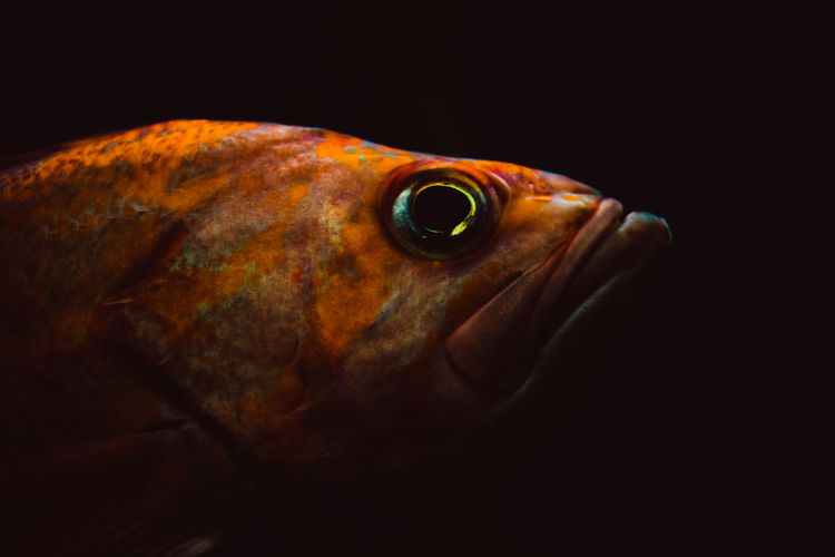 Animal One Animal Sea Marine Animal Themes Close-up Sea Life Fish Black Background Studio Shot Vertebrate Animal Body Part Animal Wildlife Animals In The Wild Underwater Water Indoors  No People Animal Eye Copy Space Animal Head  Dark Profile View Saltwater Fish