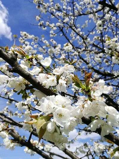 Nature Flower Growth Beauty In Nature Tree Springtime Fragility Branch White Color Close-up Flower Head Outdoors Sky Printemps Bourgeons Blue Sky Nature Cerisier Fleuris Cerisier