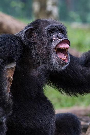 Laughing Chimpanzee Animal Themes Animal Wildlife Ape Chimpanzee Dentistry Expression Fauna Funny Laughing Mammal Monkey Portrait Primate Teeth
