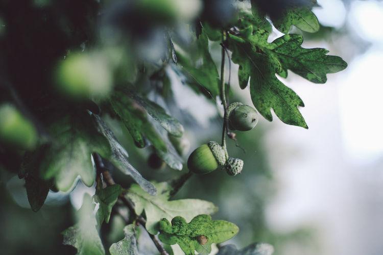 Oak Nuts Day Focus On Foreground Food Green Color Leaf Nature Nut Oak Oak Leaves Oak Nut Oak Tree Tree