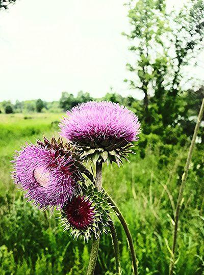 Big purple thistles exclamation point Colors Of Nature Petals🌸 Petalsandbuds Purple Flowers Thistles Flower