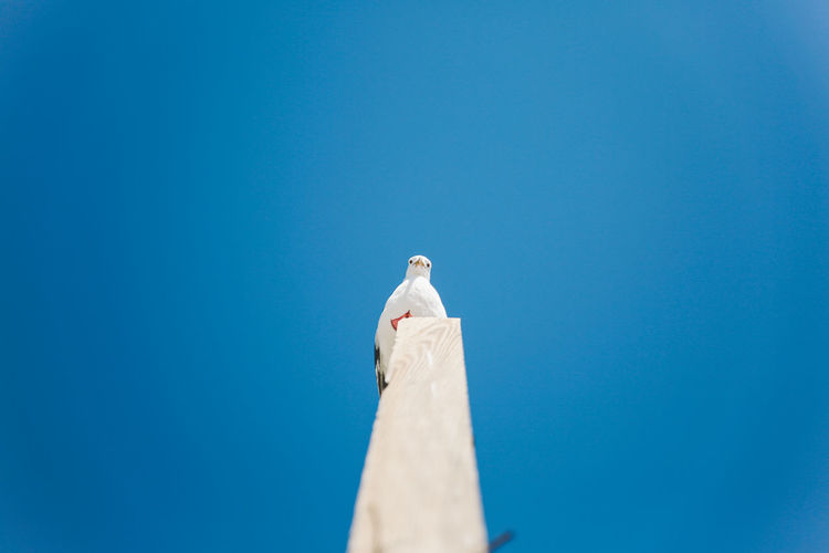 Alone California Pacific Point Dume Animal Themes Animal Wildlife Animals In The Wild Beach Bird Blue Clear Sky Copy Space Day Low Angle View Mourning Dove Nature No People Ocean Outdoors Perching Pole Seagull Sky Statue