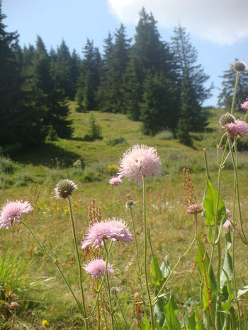 Beauty In Nature Blu Sky Bulgary Flower Green Pins Montain Landscape No People Pink Flower Thistle Flower