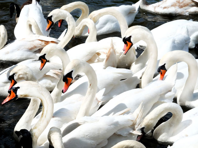 Swans Animal Animal Family Animal Neck Animal Themes Animal Wildlife Animals In The Wild Beak Bird Day Flock Of Birds Group Of Animals High Angle View Lake Large Group Of Animals Nature No People Swan Swans On The Lake Swimming Togetherness Vertebrate Water Water Bird White Color