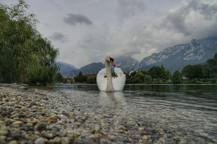 Water Mountain Lake Outdoors Lago Di Como, Italy Sony A7RII Sony A7rm2 EyeEm Selects Zeiss Sal24f20z Swan Lake Como Cigno Lombardia, Italy