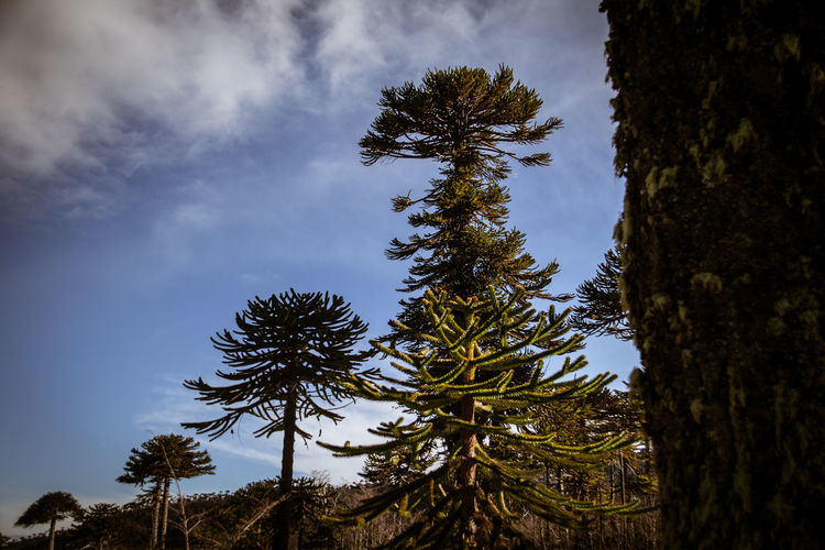Araucarias Araucaria Araucárias Beauty In Nature Countryside Day Forest Forest Photography Green Green Color Hystory Low Angle View Lush Foliage Milenamulskephotography Mountain Nature No People Outdoors Outline Remote Scenics Sky Solitude Tranquil Scene Tranquility Tree