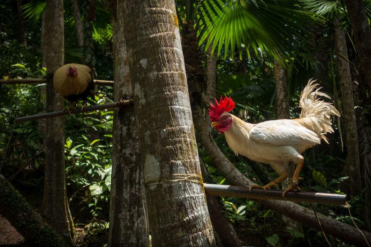 White rooster with bright red comb (crest), perched on a coconut tree in the Philippine jungle - Bohol, Philippines Chicken Farm Feathers Philippines SE Asia Tropics Bird Cockfight Cockfighting Coconut Tree Comb Crest Culture Fauna Fighter Fighting Filipino Jungle Lighting Pasttime Perched Provinces Rooster Roosting White