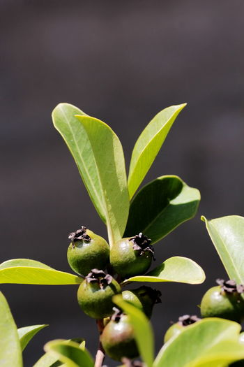 High angle close-up of guavas growing on tree during sunny day