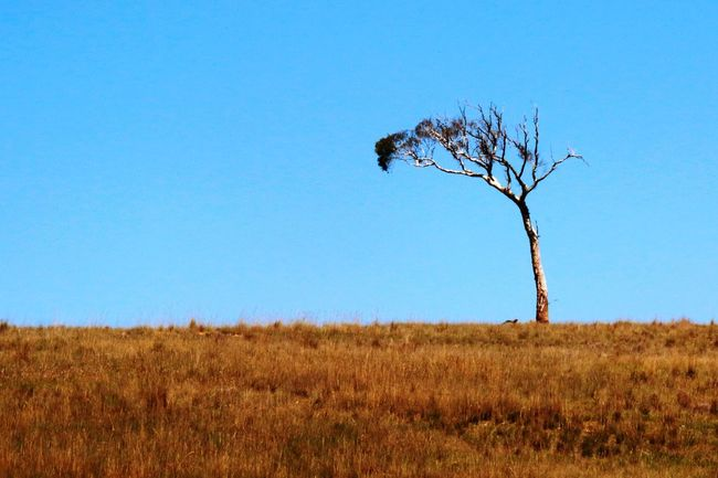 Tree Tree And Sky Treelovers GumTree Outdoor Simple Photography Nature Photography Australia Outdoor Photography Naturelovers Nature Blue Sky Enjoying Nature Lonely Tree Travel Photography Tree Photography